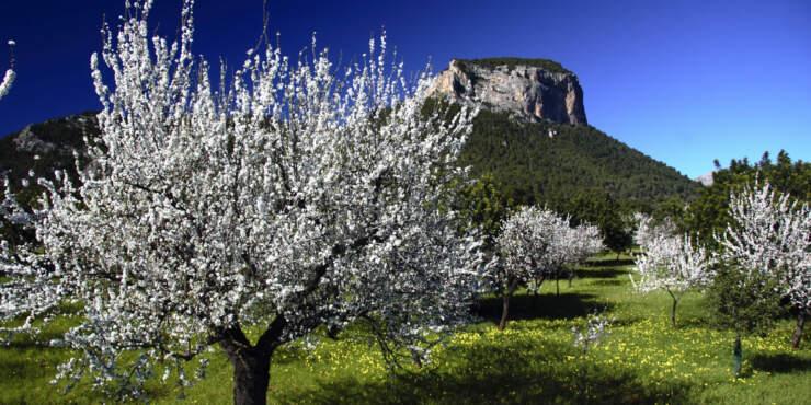 Mallorca-Reisen zur Mandelblüte